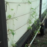 Here are the vines which I haven't updated on in a whole, they are growing!  The peas did't do well, the morning glories drown them out.