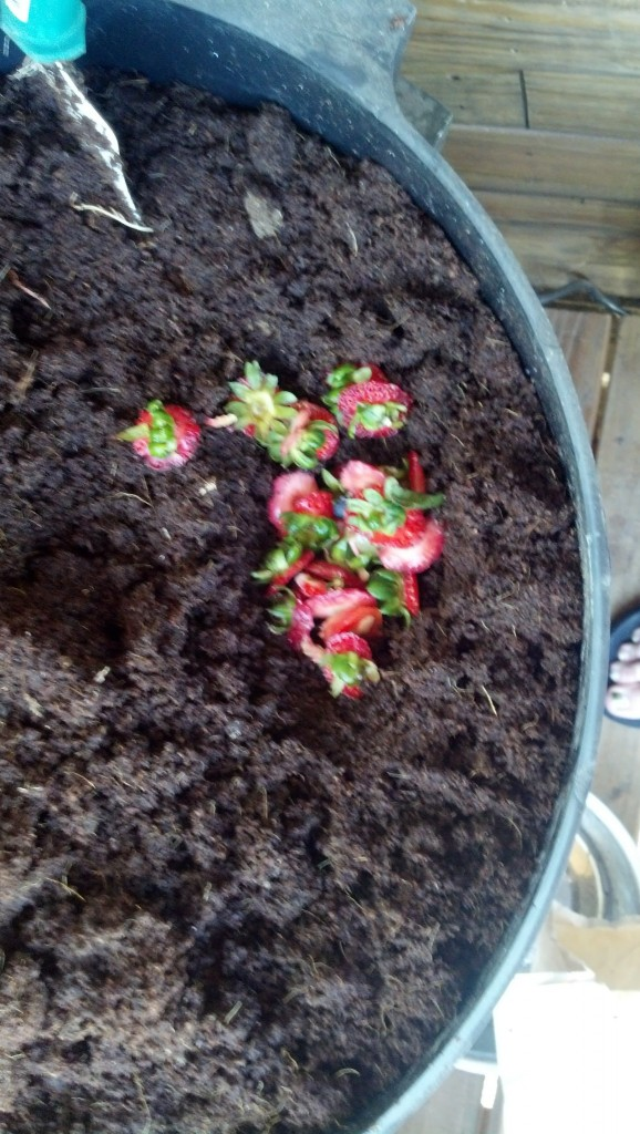 I had saved a whole bunch of food for them throughout the weeks but it all went bad since they are a little late getting here, I just have a few strawberries at the moment, more to come tonight!  I feed them by just digging a little hole, putting in the plant based compost and covering it over.