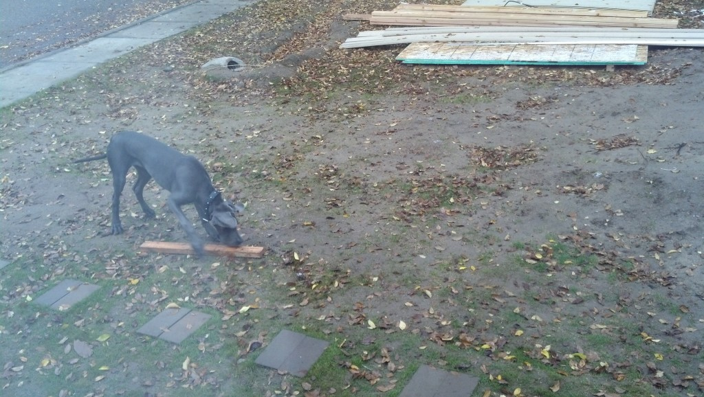 Denny plays fetch with 2x4s... he runs around with this, it's petty funny.