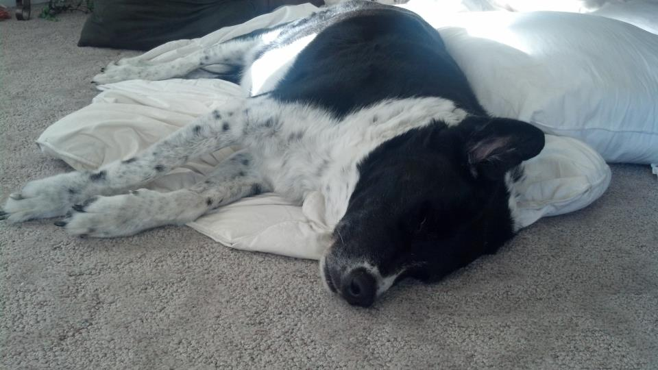 And sadly this boy met his end, he lived a good long time, this is my dog, Gage, who I got when I was 16, h made it close to 14 years befre his old bones wore out!
