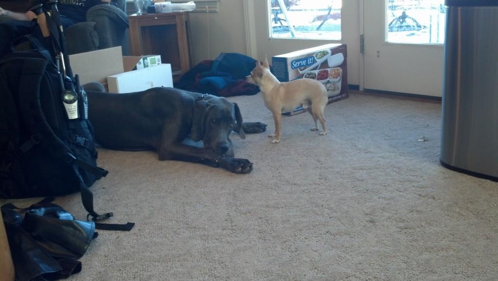 The dogs got some pretty tasty bones from grandma, Tobi enjoyed finding all the little scraps Denny left