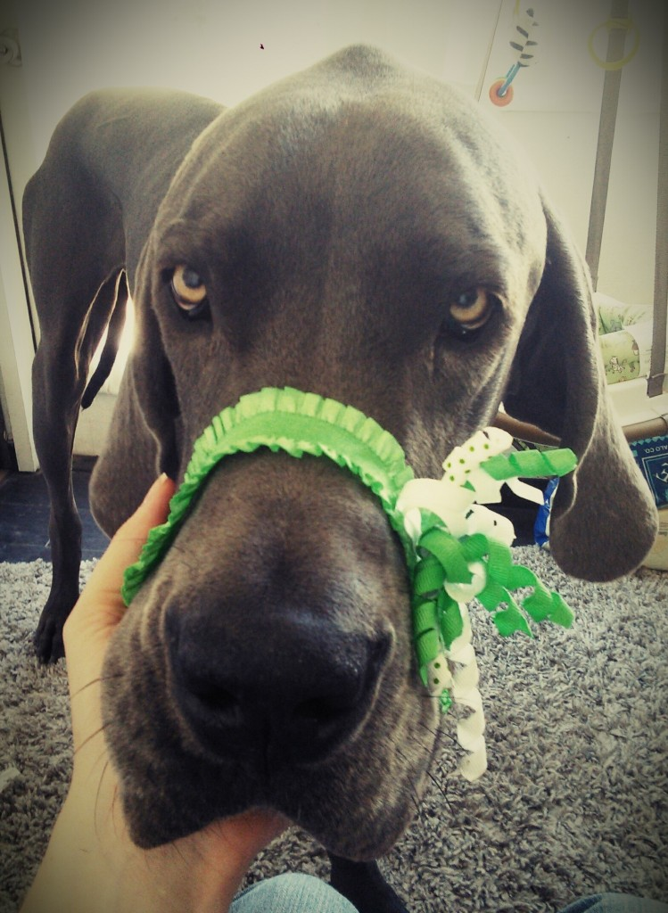 Denver trying on Hazels headband... he's always getting into thing and then acting like he doesnt want it noticed ;;-)