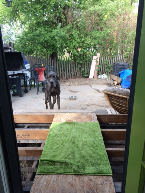 Denver refused to walk on the temporary path until I put a rug down for him...