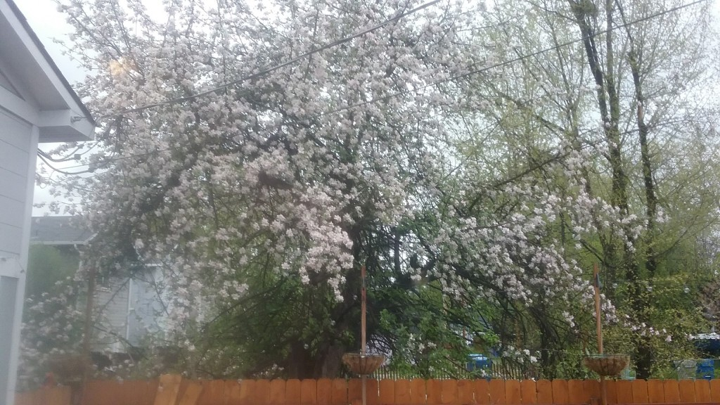 The last week in the tiny house is the one week that this apple tree blooms!  Pretty!
